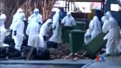 2014-12-31 美國之音視頻新聞: 香港為防禽流感撲殺家禽