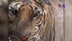 Việt Nam tăng cường nỗ lực quốc gia bảo tồn loài hổ