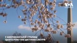 У американській столиці цього року пік цвітіння сакури відбувається без звичних натовпів туристів. Відео