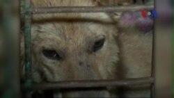Tệ nạn bắt trộm chó nuôi để bán lấy thịt ở Việt Nam
