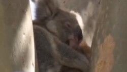 Заштита на коалите