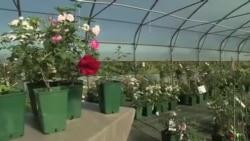 گل های رز در فرانسه