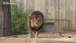 Singa hingga Gorila Kebun Binatang Tertular Covid