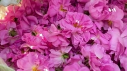 فرصت کاری برای زنان در فصل جمعآوری گل گلاب
