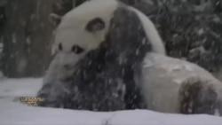 როგორ უვლიან ცხოველებს ზამთარში ვაშინგტონის ზოოპარკში