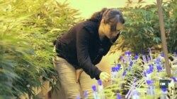 Що приваблює жінок до ринку легалізованої марихуани. Приклад Колорадо. Відео