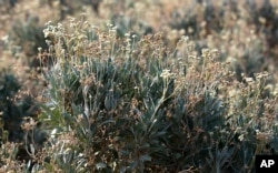 Drought-resistant guayule plants are being grown for research on a farm run by Tempe Farming Co., in Casa Grande, Ariz., July 22, 2021.