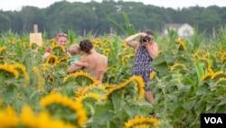 해바라기 축제가 열리고 있는 뉴욕주 '워터드링커 농장'에서 방문객들이 사진을 찍고 있다.