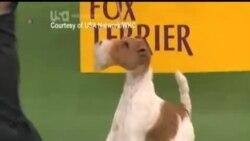 2014-02-12 美國之音視頻新聞: 硬毛獵戶犬贏得威斯敏斯特狗展