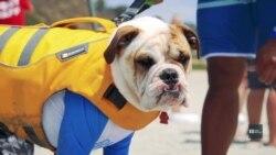 Спіймати хвилю: як у Каліфорнії собак вчать серфінгу. Відео