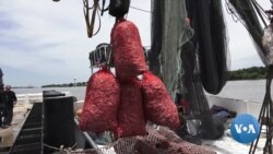 Growing Dead Zone in Gulf of Mexico Causes Anxiety Among Shrimpers