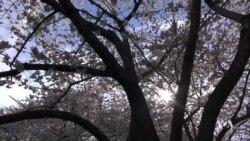 Washington's Cherry Blossoms Showcase Breathtaking Display