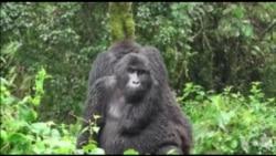 世界超过半数灵长类动物濒临灭绝